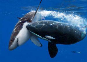 orque chasse requin
